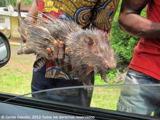 """Venda d'animals caçats a la selva, la """"viande de brousse"""", com un porc-espí"""