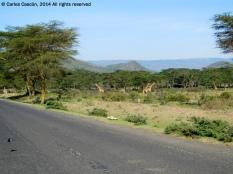 Girafas desde la carretera camino del Crater Lake