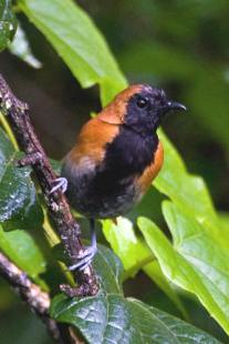 Black faced rufous warbler