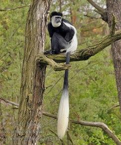 Black&white Colobus monkey