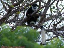Bush tailed monkey