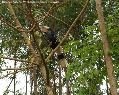 Black&white casqued hornbill