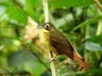 Red tailed Bristlebill