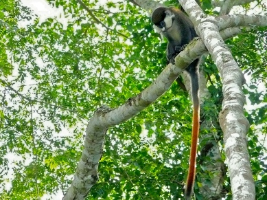 red-tailed-monkey
