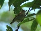 Uganda Woodland Warbler