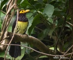 Yellow billed barbet