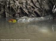 Cocodrilo en el Ramisi River, Funzi Island
