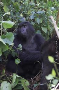 Gorila en Bwindi (Ruhija)