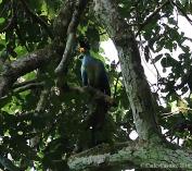 Great Blue Turaco, Bigodi