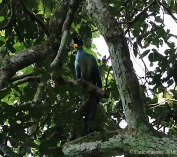 Great Blue Turaco, Bigodi