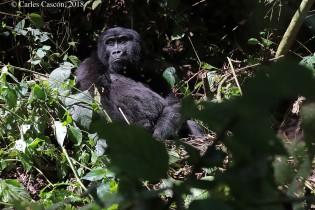 Gorila en Bwindi Impenetrable Forest