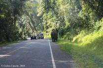 Elefantes cruzan la carretera a la salida de Bigodi