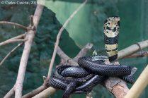 Forest Cobra, Uganda Reptiles Village