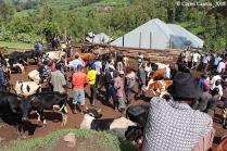 Compra de vacas en el Mugusu Market