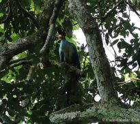 Great Blue Turaco Bigodi