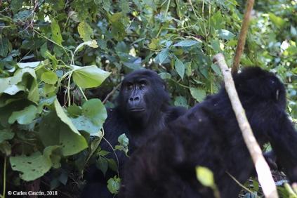 GorillasBwindi12
