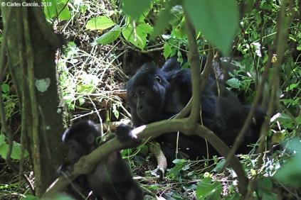 GorillasBwindi13
