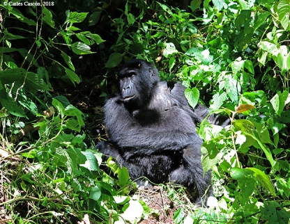 GorillasBwindi8