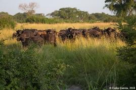Búfalos en el QENP