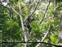 Chimpancé en el Kalinzu Forest