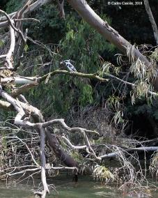 Un Pied kingfisher (Martín pescador pío) con su pesca