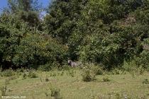Una zebra mira al recién llegado a su isla
